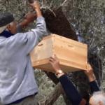 בצילום: איסוף נחיל מעץ בידיים חשופות וללא ציוד מגן, בעת סדנה בהרדוף עם הדבוראי הגרמני גונטר האוק